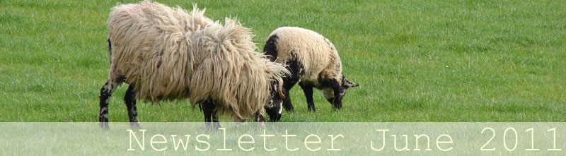 Spring image - shaggy sheep in field
